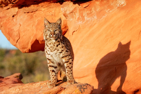 bobcat: Lince rojo (Lynx rufus) de pie sobre las rocas rojas