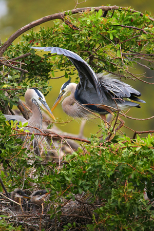largest: Great Blue Herons (Ardea herodias) standing in the nest. It is the largest North American heron.