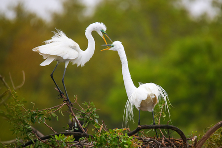 Great Egrets (Ardea alba) in a nest