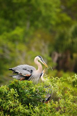 herons: Great Blue Herons  (Ardea herodias) exchanging nesting material. It is the largest North American heron.