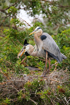 largest: Great Blue Herons (Ardea herodias) in the nest eaing fish. It is the largest North American heron.