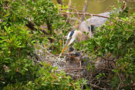 Great Blue Heron (Ardea herodias) with chicks in the nest. It is the largest North American heron.