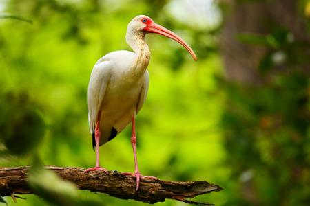 immature: Immature white ibis (Eudocimus albus) sitting on a tree) sitting on a tree Stock Photo