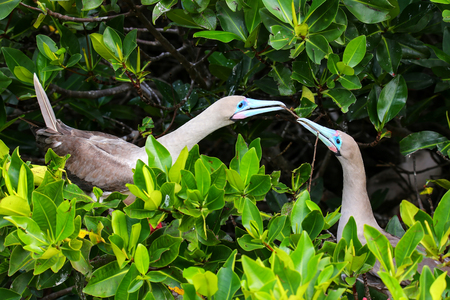 boobies: Red-footed boobies breeding behavior, Genovesa island, Galapagos National Park, Ecuador
