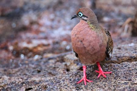 galapagos: Galapagos Dove (Zenaida galapagoensis) on Genovesa Island, Galapagos National Park, Ecuador Stock Photo