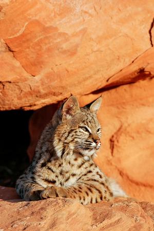 bobcat: Lince rojo (Lynx rufus) que se encuentra en rocas rojas