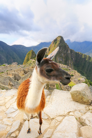 Llama standing at Machu Picchu overlook in Peru. In 2007 Machu Picchu was voted one of the New Seven Wonders of the World. Stock Photo