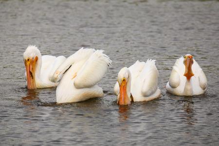 pelecanus: White Pelicans (Pelecanus erythrorhynchos) feeding in the water, Florida