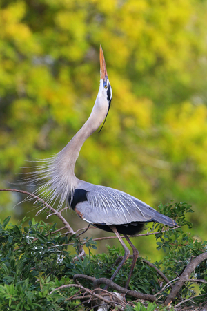 everglades national park: Great Blue Heron (Ardea herodias) in breeding display. It is the largest North American heron. Stock Photo