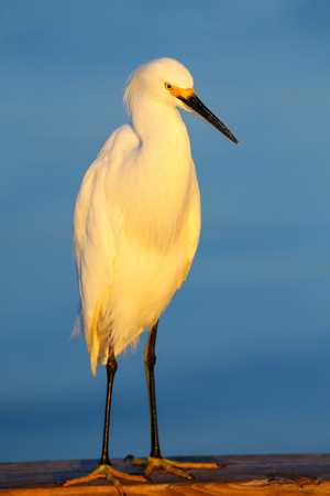everglades national park: Snowy egret (Egretta thula) standing near ocean at sunset Stock Photo