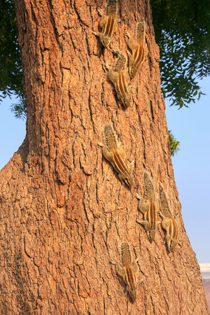 tourist site: Indian palm squirrels on a tree in Agra Fort, Uttar Pradesh, India. This fort is a very popular tourist site in Agra Stock Photo