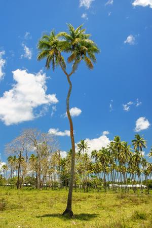 double headed: Double-headed coconut tree on Tongatapu island in Tonga. Tongatapu is the main island of the Kingdom of Tonga. Stock Photo