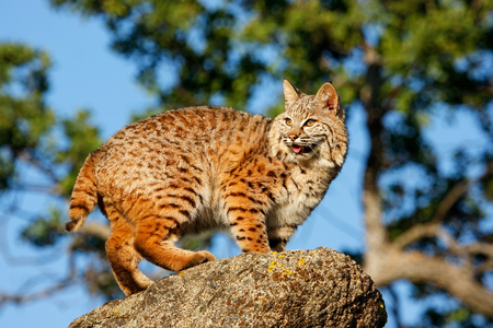 lince rojo: Bobcat (Lynx rufus) standing on a rock