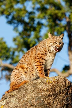 bobcat: Lince rojo (Lynx rufus) sentado en una roca