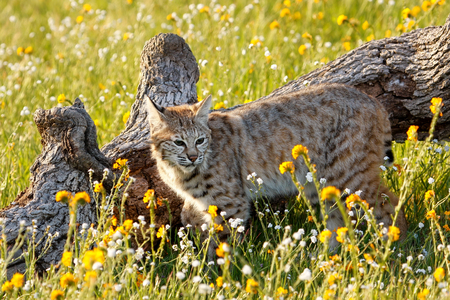 lince rojo: Bobcat (Lynx rufus) standing in a grass with flowers