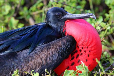 sac: Portrait of male Great Frigatebird (Fregata minor) on Genovesa Island, Galapagos National Park, Ecuador