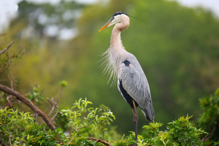 herodias: Great Blue Heron (Ardea herodias) standing on a nest. It is the largest North American heron. Stock Photo