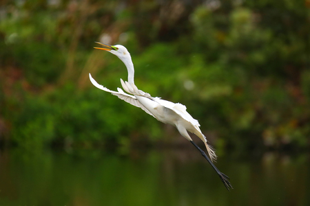 everglades national park: Great Egret (Ardea alba) flying