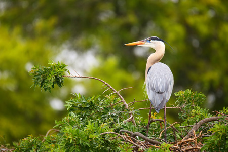 Great Blue Heron (Ardea herodias) standing on a nest. It is the largest North American heron. Reklamní fotografie