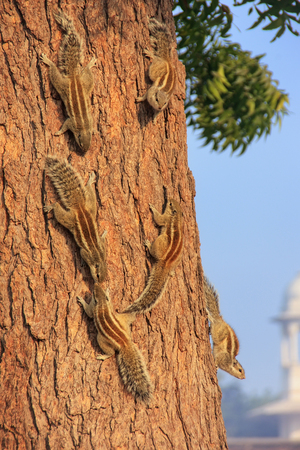 Indian palm squirrels on a tree in Agra Fort, Uttar Pradesh, India. This fort is a very popular tourist site in Agra Stock Photo