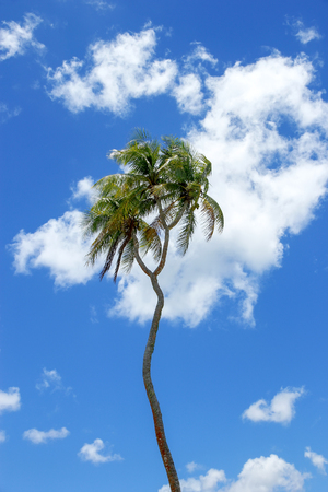 Double-headed coconut tree on Tongatapu island in Tonga. Tongatapu is the main island of the Kingdom of Tonga. Stock Photo
