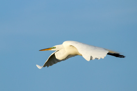 everglades national park: Great Egret (Ardea alba) flying in blue sky
