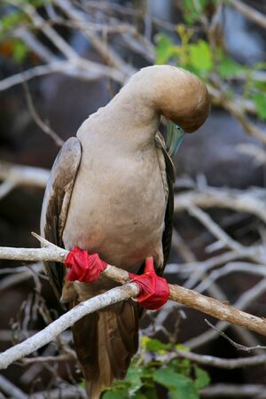 Red-footed booby (Sula sula) preening feathers on Genovesa island, Galapagos National Park, Ecuador