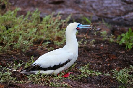 Red-footed Booby (Sula sula) with a stick in its beak, Genovesa Island, Galapagos National Park, Ecuador Stock Photo