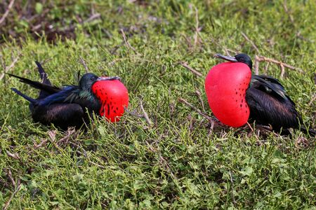 minor: Male Great Frigatebirds (Fregata minor) on Genovesa Island, Galapagos National Park, Ecuador