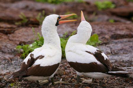boobies: Nazca Boobies (Sula granti) on the nest, Genovesa Island, Galapagos National Park, Ecuador