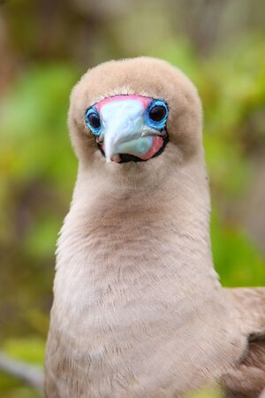 Portrait of Red-footed Booby (Sula sula) on Genovesa island, Galapagos National Park, Ecuador Stock Photo
