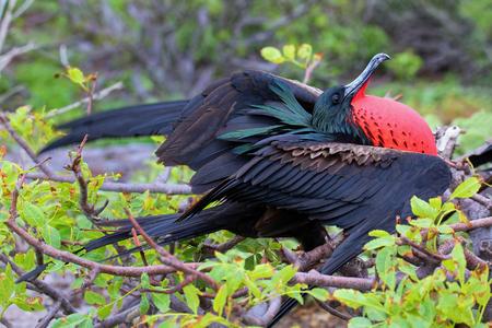 minor: Male Great Frigatebird (Fregata minor) displaying, Genovesa Island, Galapagos National Park, Ecuador