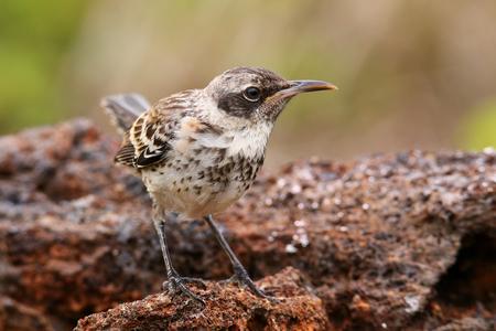 ruiseñor: Galápagos Mockingbird (Nesomimus parvulus) en la Isla Genovesa, el Parque Nacional Galápagos, Ecuador