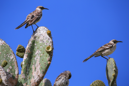 wildlife preserve: Galapagos Mockingbirds (Nesomimus parvulus) sitting on a cactus, Genovesa Island, Galapagos National Park, Ecuador