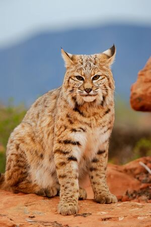 Bobcat (Lynx rufus) sitting on red rocks Stock Photo