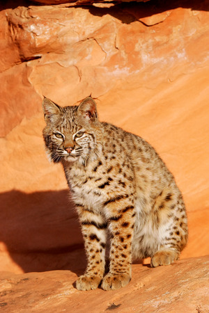 lince rojo: Bobcat (Lynx rufus) sitting on red rocks Foto de archivo