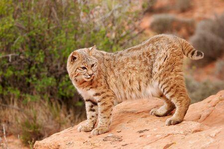 lince rojo: Lince rojo (Lynx rufus) de pie sobre las rocas rojas