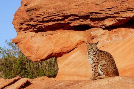bobcat: Lince rojo (Lynx rufus) que se sienta en rocas rojas