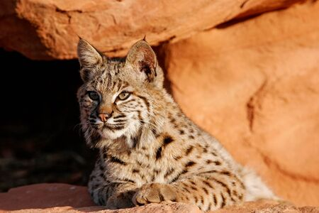 lince rojo: Bobcat (Lynx rufus) lying on red rocks