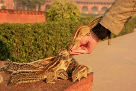 tourist site: Tourist feeding Indian palm squirrels in Agra Fort, Uttar Pradesh, India. This fort is a very popular tourist site in Agra