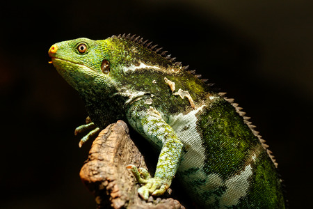 Fijian crested iguana (Brachylophus vitiensis) on Viti Levu Island, Fiji. It is critically endangered species of iguana found on some Fijian islands.