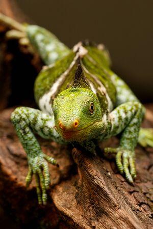 endangered species: Fijian crested iguana (Brachylophus vitiensis) on Viti Levu Island, Fiji. It is critically endangered species of iguana found on some Fijian islands.