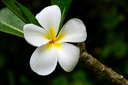 White plumeria flower on a tree