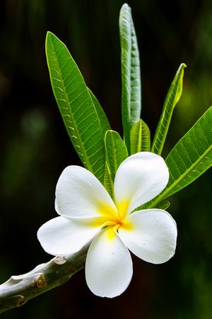 tahitian: White plumeria flower on a tree