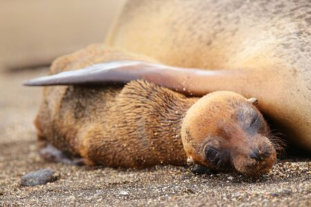 Young Galapagos sea lion lying with mother on Santiago Island in Galapagos National Park, Ecuador