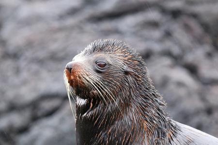 wildlife preserve: Portrait of Galapagos fur sea lion (Arctocephalus galapagoensis) on Santiago Island, Galapagos National Park, Ecuador.