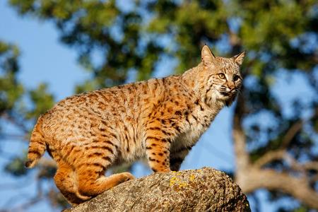 bobcat: Bobcat (Lynx rufus) standing on a rock