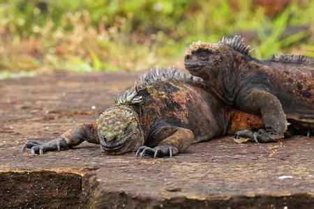 Marine iguanas on Santiago Island in Galapagos National Park, Ecuador. Marine iguana is found only on the Galapagos Islands