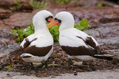 boobies: Nazca Boobies (Sula granti) preening each other, Genovesa Island, Galapagos National Park, Ecuador