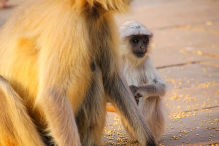 Baby gray langur sitting by mother in Amber Fort, Jaipur, Rajasthan, India. Gray langurs are the most widespread langurs of South Asia.